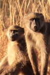 baboons bathed in sunlight