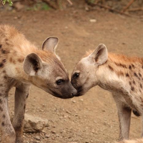 Hyena PDA