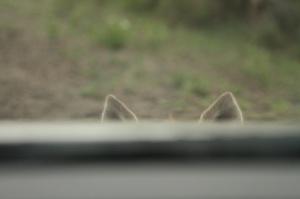 Hyena ears