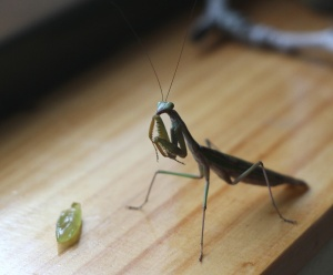 mantid and his grape