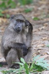 baboon in thought