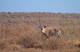 Lone oryx checking us out