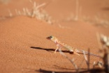 web-footed gecko, Namibia