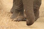 Elephant trunk and toes